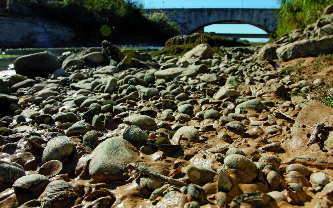 Detectan la mayor presencia de Corbicula fluminea (almeja asiática) en las desembocaduras de los afluentes del Ebro