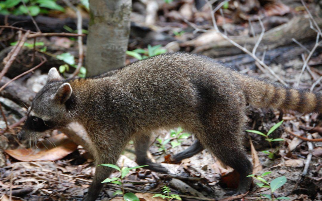El protagonista del día… el mapache (Procyon lotor)