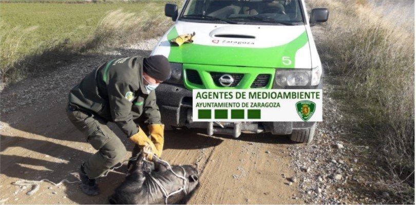 Capturan un cerdo vietnamita en la ribera del Ebro a la altura de Juslibol