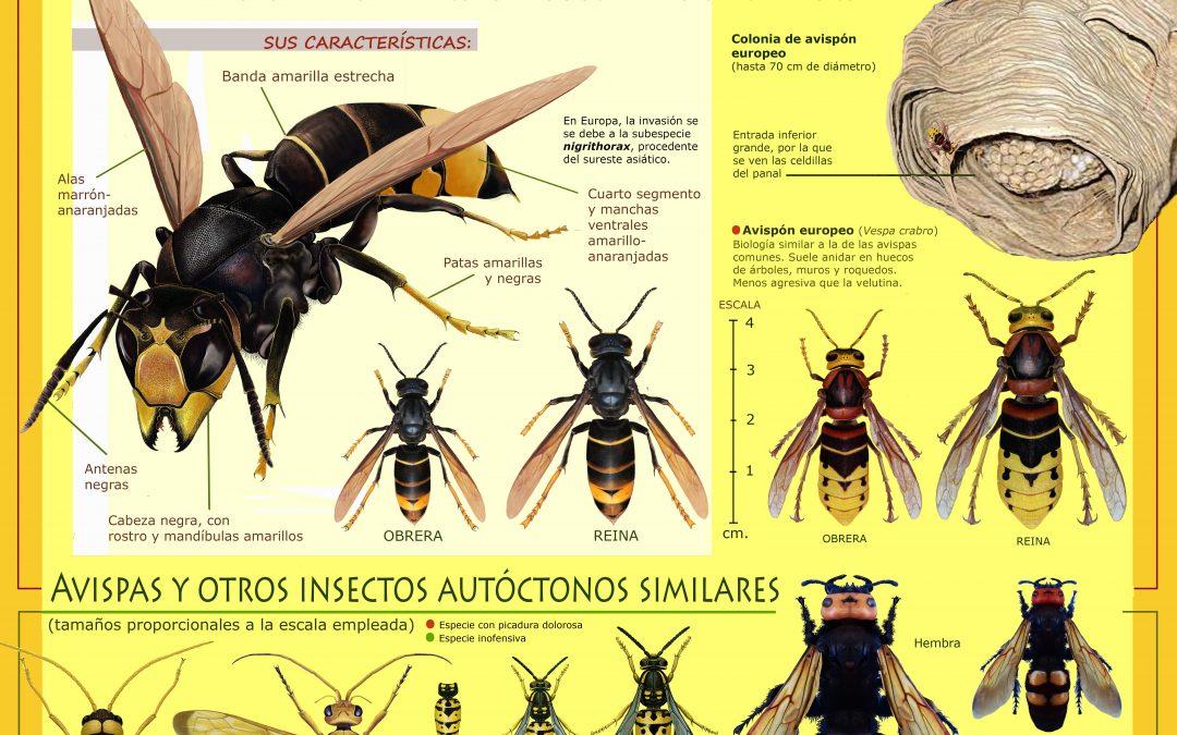 Campaña de información sobre avispa asiática en Aragón